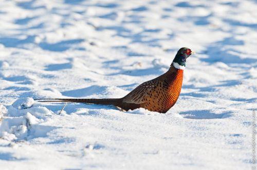 Snowbound Pheasant