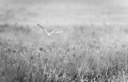 Barn Owl 9957