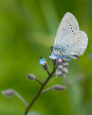 Small blue nectaring on Forget-me-not