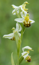 Bee orchid var flavescens