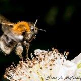 Buff-tailed bumblebee, Bombus terrestris, in flight-3242-2