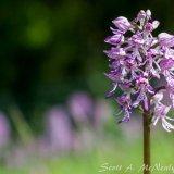 Hartslock Nature Reserve-Lady Orchid x Monkey Orchid, O. purpurea x O. simia-