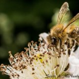 Honey Bee, Apis mellifera-3110