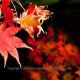 Japanese Maple, Acer palmatum, Osakazuki Autumn Colour at Westonbirt National Arboretum-0184