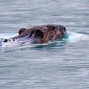Bow Lake Beaver