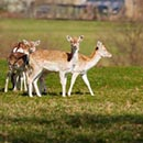 Deer at Chatsworth