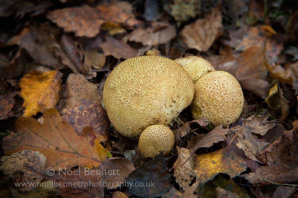 Fungie - Boletus parasiticus