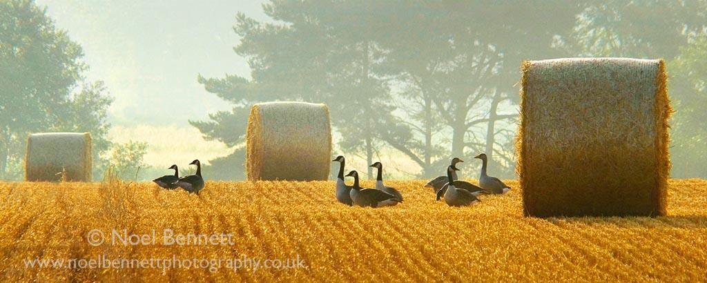 Geese At Grove Farm