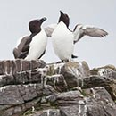 Razorbills On The Rocks