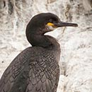 Shag on Perch