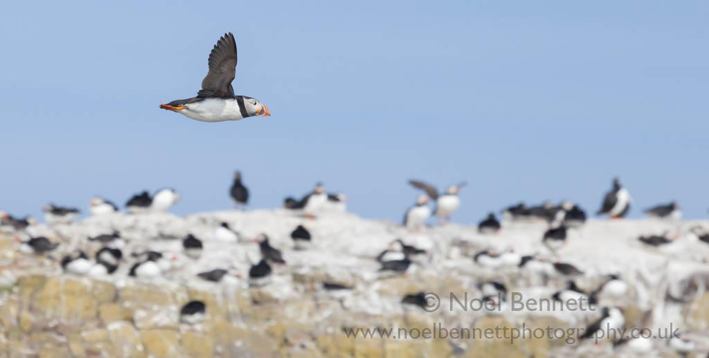 Puffin Fly Past