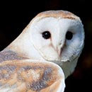 Barn Owl On Purch