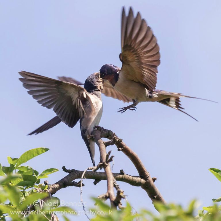 Swallow Feeding Young