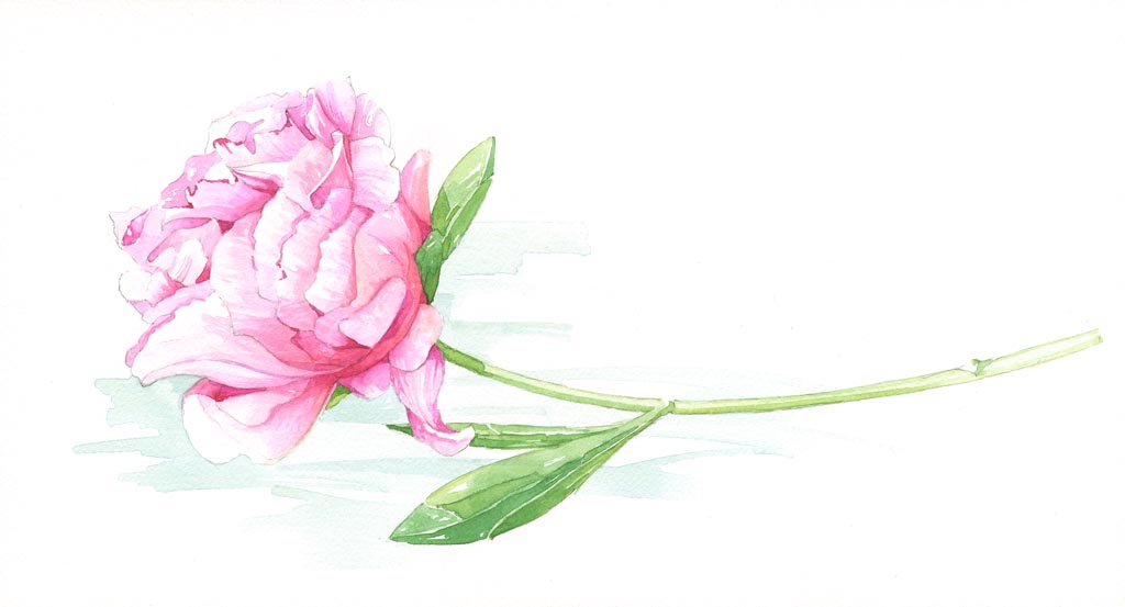 illustra 3 Peony Illustration