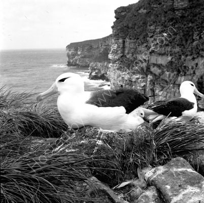 Black Browed Albatross and Chick
