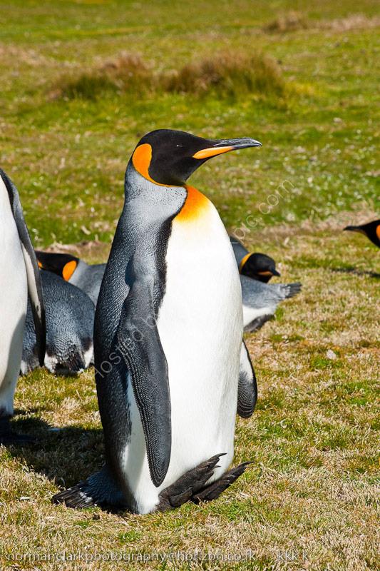 DSC0170 King Penguin