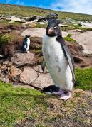 DSC3713 Rockhopper Penguin