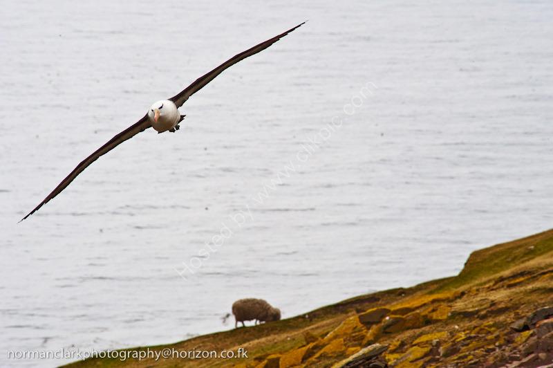 DSC3935 Black Browed Albatross