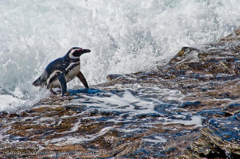 DSC4025 Magellanic Penguin