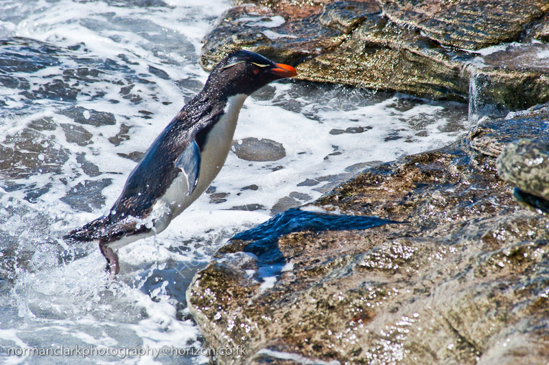 DSC4038 Rockhopper Penguin