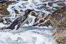 DSC4042 Rockhopper Penguin