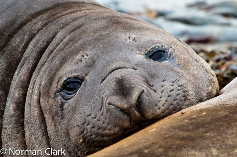 DSC6165-Southern Elephant Seal