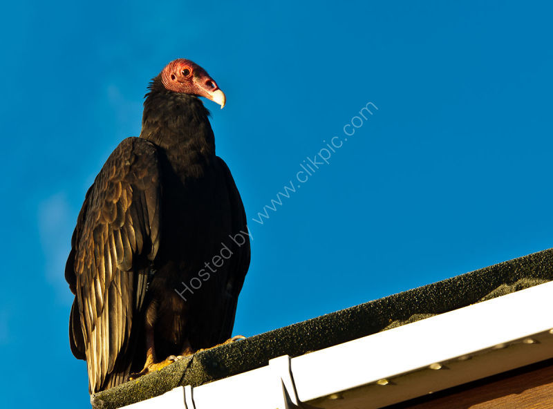 DSC6460-Turkey Vulture