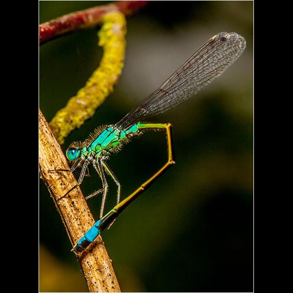 Copycat Damsel Fly