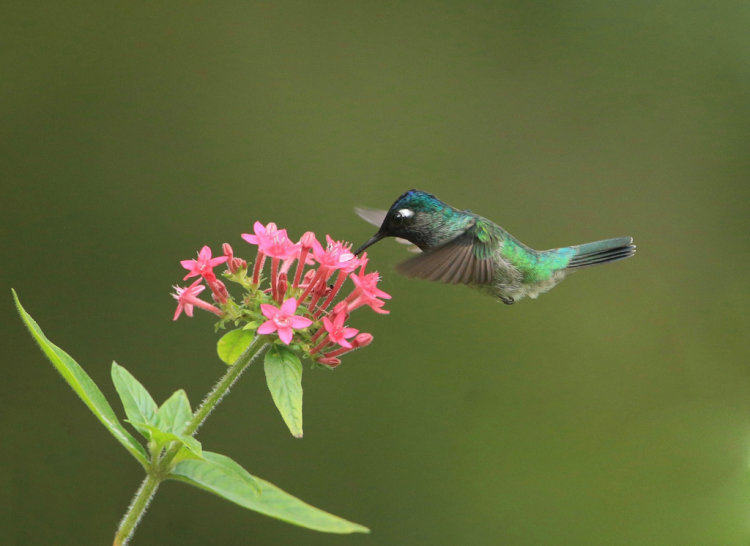 Violet Headed Humming Bird