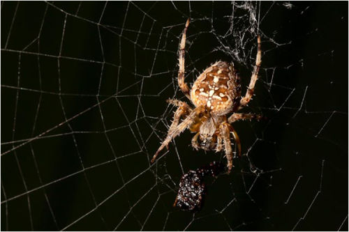 Garden Spider having Lunch