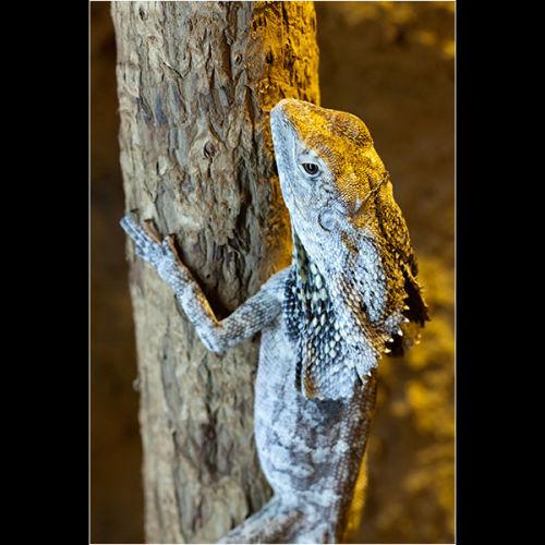 Hooded Lizard