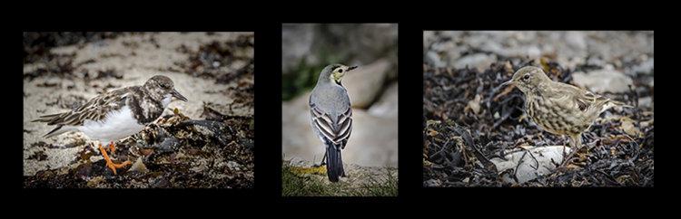 Bardsey Island Birds