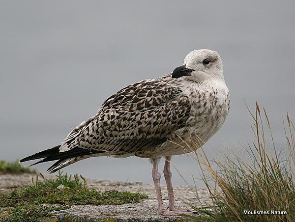 L. marinus juvenile/1st-winter