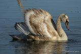 Mute Swan (Cygnus olor) 1W
