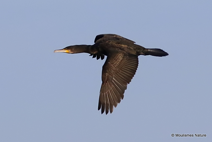 Great Cormorant (Phalacrocorax carbo) 1W