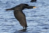 Great Cormorant (Phalacrocorax carbo) Ad-W