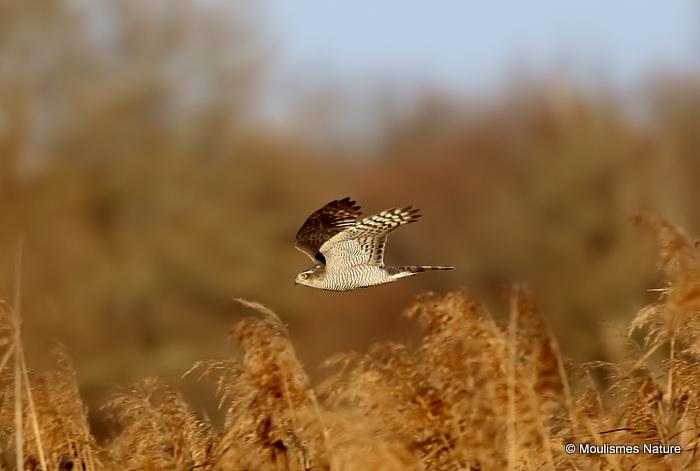 Eurasian Sparrowhawk (Accipiter nisus) F