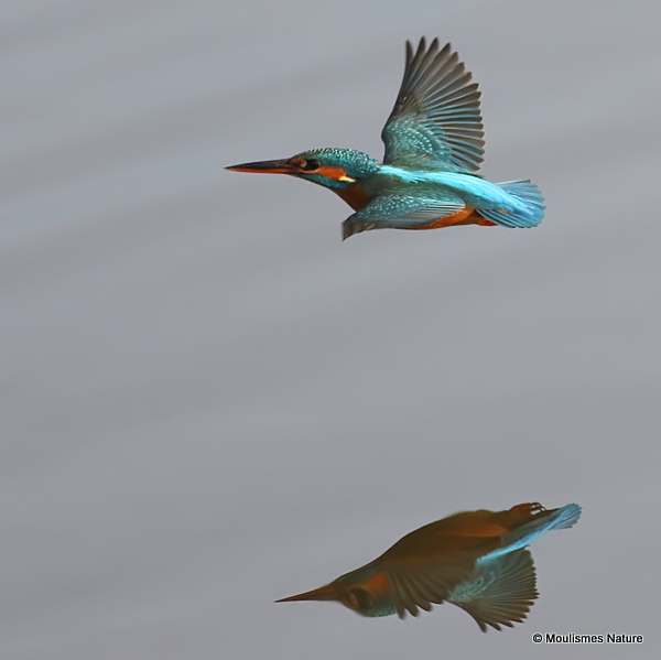 Common Kingfisher (Alcedo atthis) F