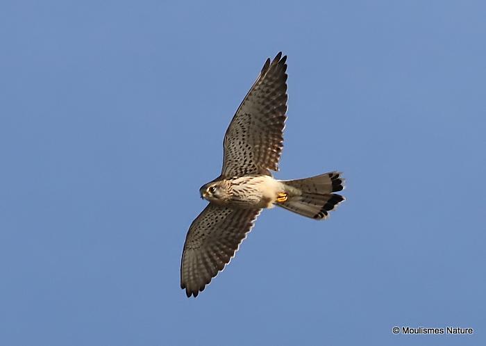 Common Kestrel (Falco tinnunculus) M-Ad