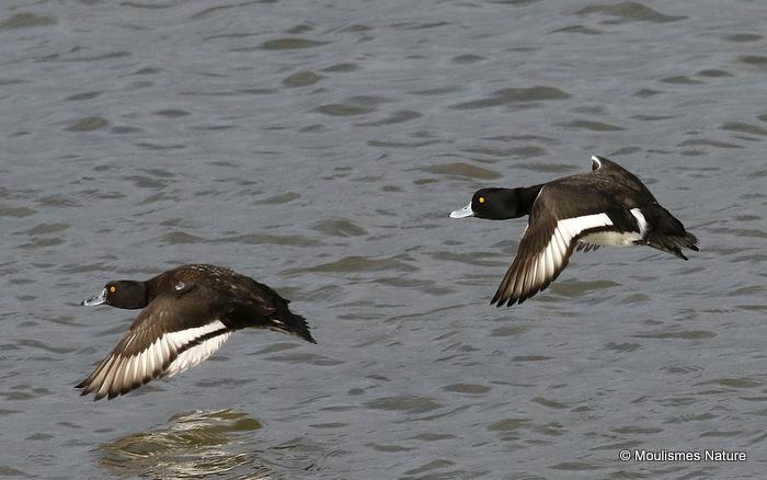 Tufted Duck (Aythya fuligula), Fuligule morillon