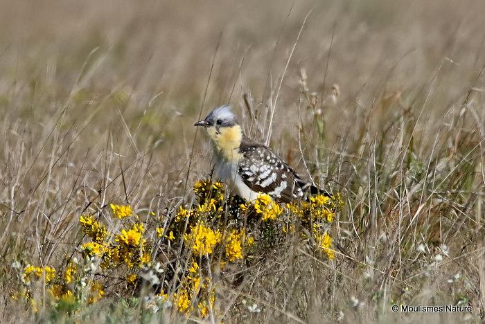 Great Spotted Cuckoo | Clamator glandarius | adult | aerodrome