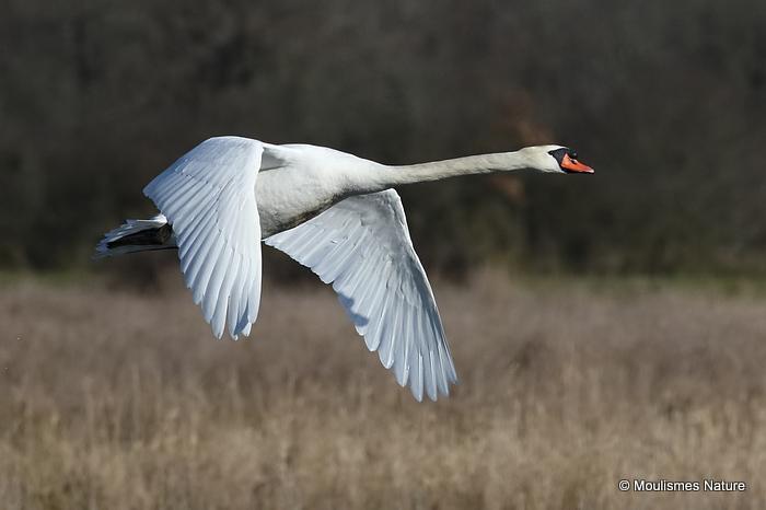 Mute Swan (Cygnus olor) Ad, Cygne tubercule