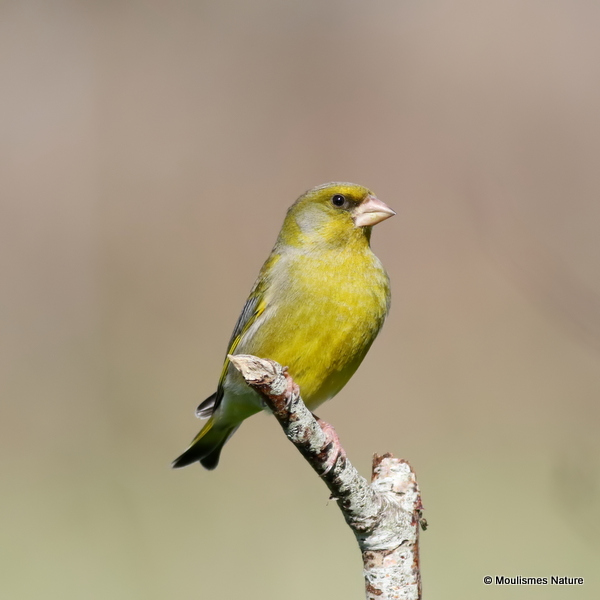 European Greenfinch (Carduelis chloris) M