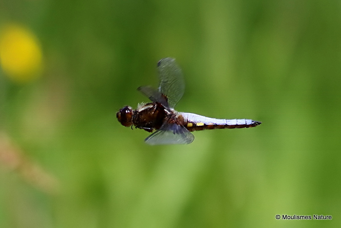 Broad-bodied Chaser (Libellula depressa) M