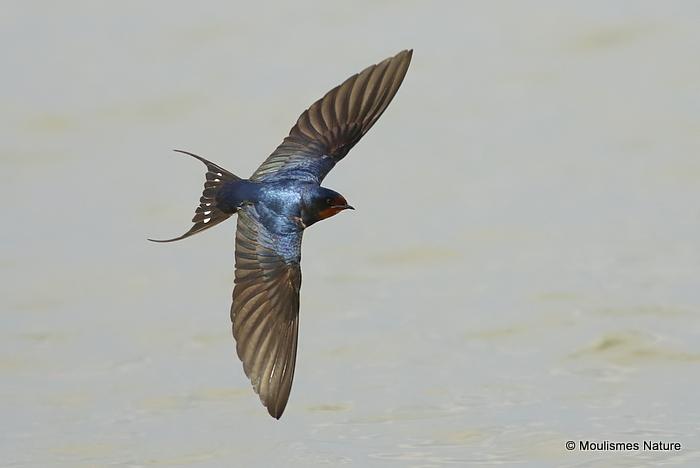 Barn Swallow (Hirundo rustica) l'Encanyissada
