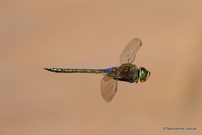 Vagrant Emperor (Anax ephippiger) male, near visitor centre