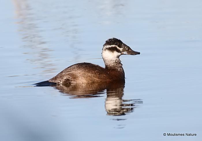0S8A5525. White-headed Duck (Oxyura leucocephala) female type, 'Vera Marshes' 18/12/17.
