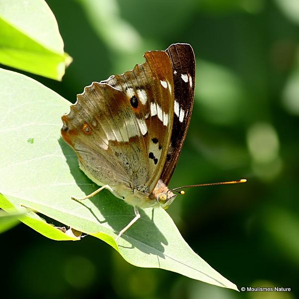 Lesser Purple Emperor (Apatura ilia), form ilia