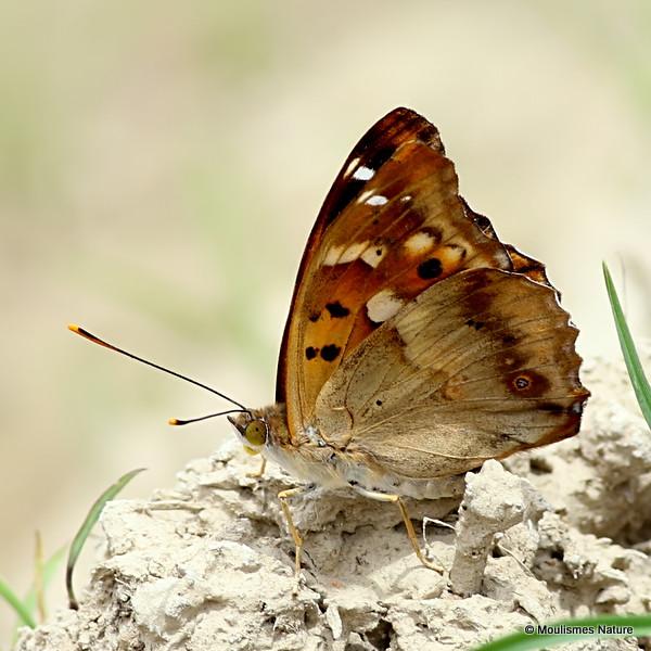 Lesser Purple Emperor (Apatura ilia), form clytie