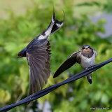 Barn Swallow (Hirundo rustica) juv + ad, Hirondelle rustique